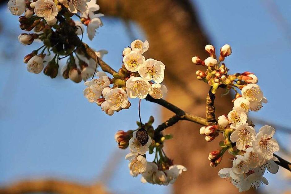 Kirschblütenpracht im Eggenertal (Foto: Jutta Schütz)