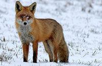 Auf der Flucht oder auf Futtersuche – wie kam der Fuchs ins Haus?