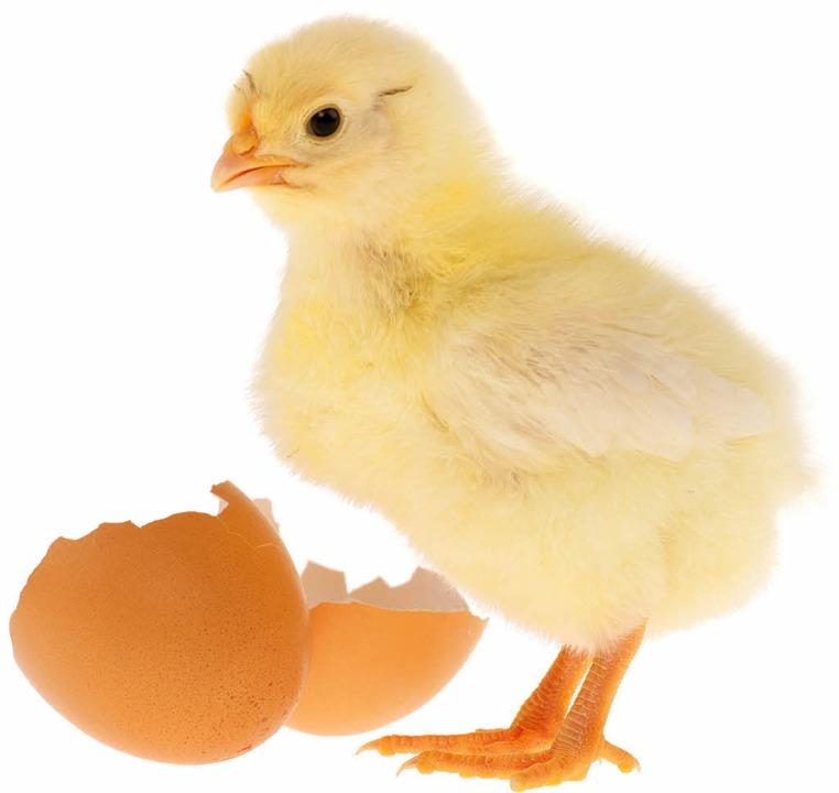 Mit dem spitzenSchnabel hat das Küken die Eierschale geknackt.  | Foto: AK-DigiArt - Fotolia