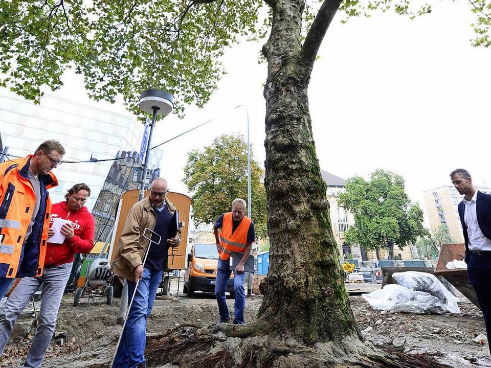 Eine 70 Jahre alte Platane auf dem Pla...ar bei  Bauarbeiten beschädigt worden.  | Foto: Ingo Schneider
