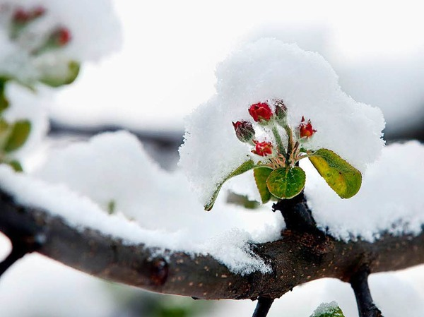 Schnee liegt am Dienstag auf den Blüten eines Apfelbaumes in Inneringen (Baden-Württemberg).