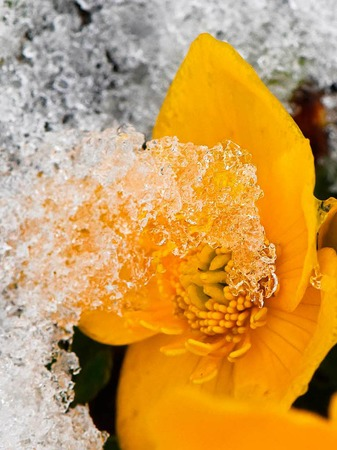 Schneebedeckt ist am Ostermontag bei Hofsgrund auf dem Schauinsland im Schwarzwald eine Butterblume.