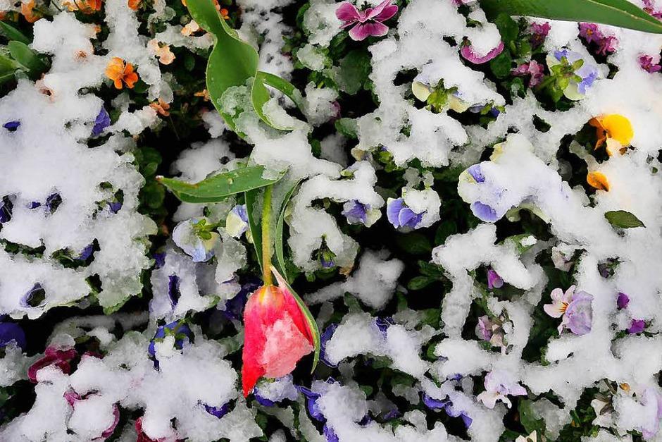 Frühlingsblumen am Sonntag in Nesselwang (Bayern) (Foto: dpa)