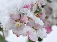Bauern bangen um ihre Blüten: Wetterdienst erwartet scharfen Frost