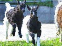 Dieb klaut zwei neugeborene Ziegen auf dem Freiburger Mundenhof
