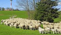 Schafes Bild