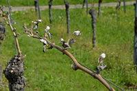 Erhebliche Frostschäden in den Kaiserstühler Weinbergen