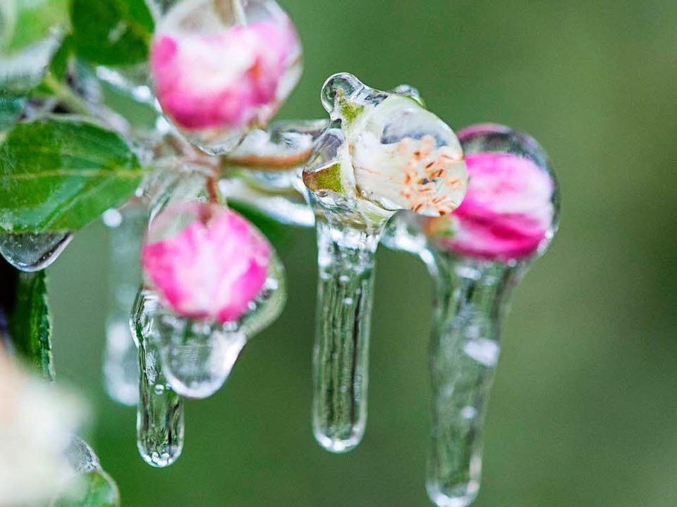 Der Eispanzer soll diese Apfelblüten bei Denzlingen schützen.  | Foto: dpa