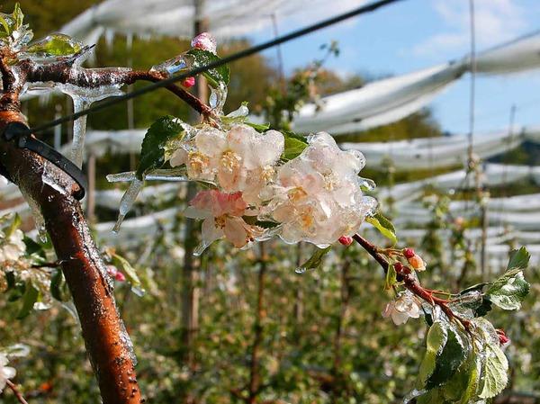 Apfelplantage im Eispanzer im Waldkircher Stadtteil Buchholz am Donnerstag.