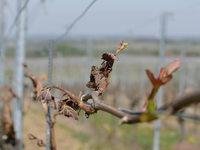 Frostschäden: Markgräfler Winzer rechnen mit massiven Einbußen