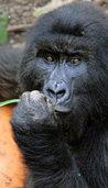 Schutzraum für Gorillas