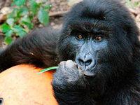 Ost-Kongo hat das einzige Waisenhaus für Berggorillas