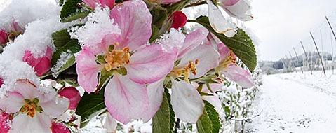 Frostschäden bedrohen Obstbauern in ihrer Existenz