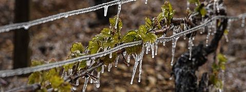 Bibbern um die Ernte: Bauern nicht gegen Frost versichert