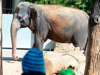 Wilhelma möchte asiatische Elefanten züchten