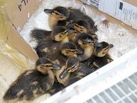 Nach Rettungsaktion: Entenküken halten auf Trab