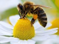 Bienen schwärmen wieder aus - das neue Honigjahr startet