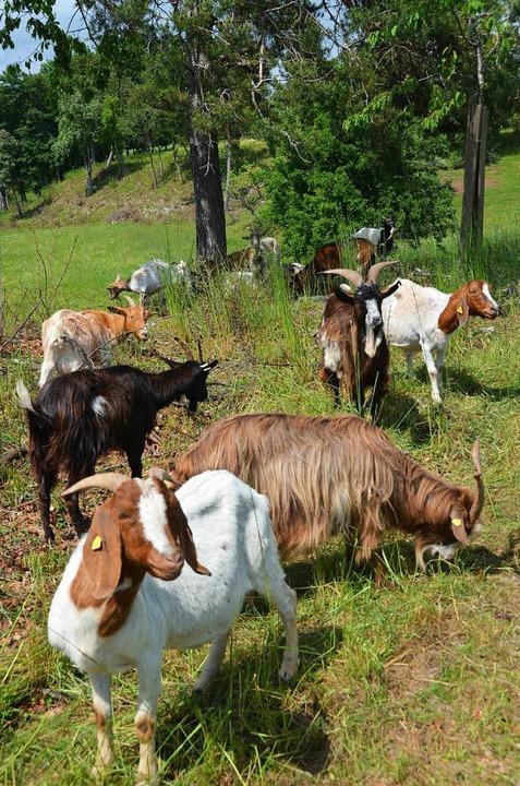 Die Förderung eines Ziegenstalls könnt...es Biosphärengebiets bewilligt werden.  | Foto: Juliane Kühnemund
