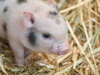 Fotos: Im Zoo Basel gibt es neue Mini-Schweine-Babys