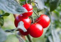 Muss man die Blätter der Tomaten entfernen?