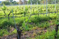 Die Ernteausfälle im südlichen Breisgau halten sich in Grenzen