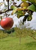 Mehr Geld für Obst vom Wiesenbaum
