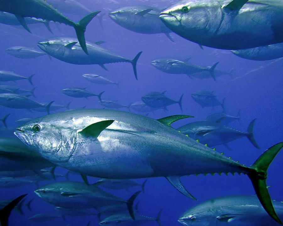 Durch Plastikmüll gefährdet: Thunfische  | Foto: dpa