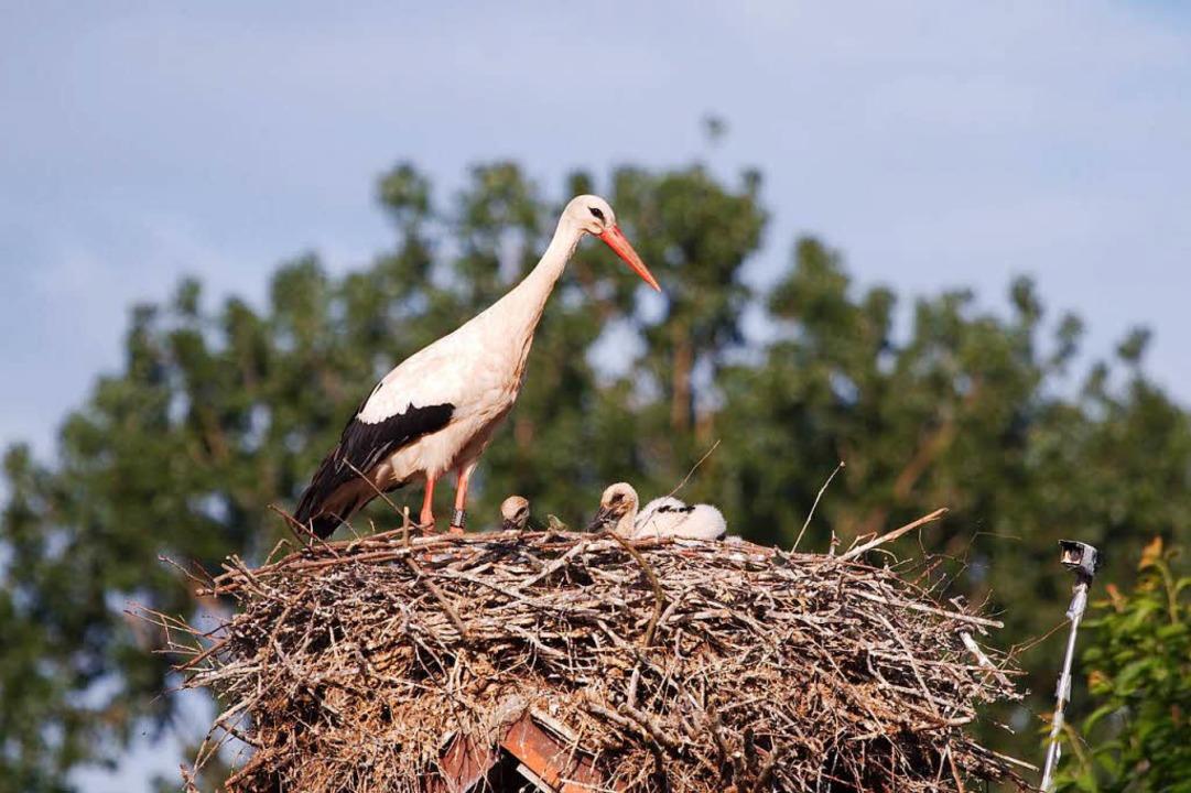 Der Idealzustand: Die Storchenmutter wacht über ihre Jungen.    Foto: Weissstorch Breisgau  e.V.