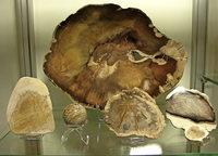 Ausstellung rund um den Mammutbaum Seqoioideae in Badenweiler
