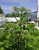 Experten sichern Giftpflanze im Industriegebiet Nord