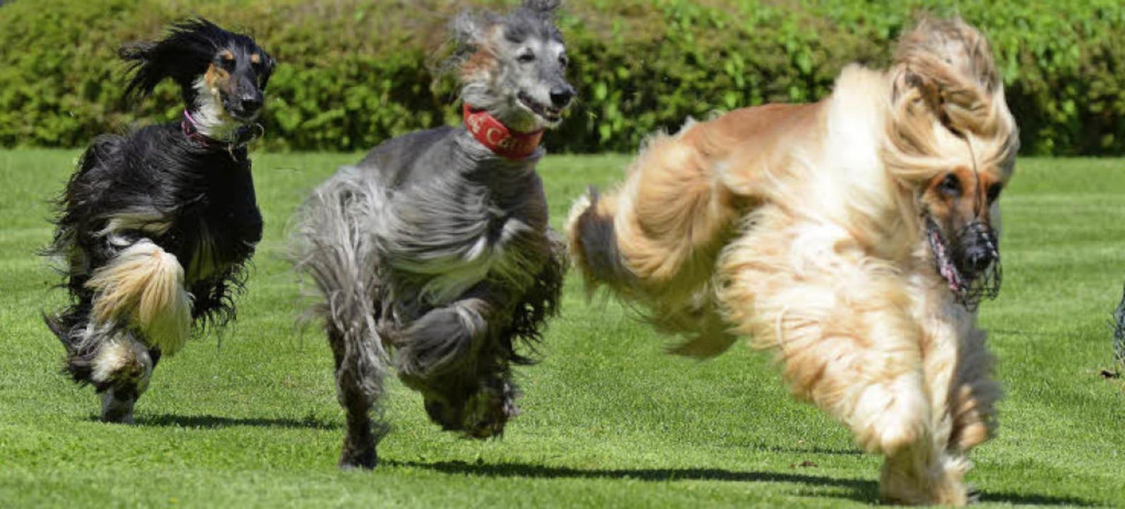 Mit wehendem Haar immer dem falschen H...rher: Windhunde lieben es, zu  jagen.   | Foto: rita eggstein