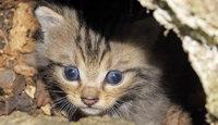 Vortrag über Wildkatzen am Kaiserstuhl im Naturzentrum Kaiserstuhl in Ihringen
