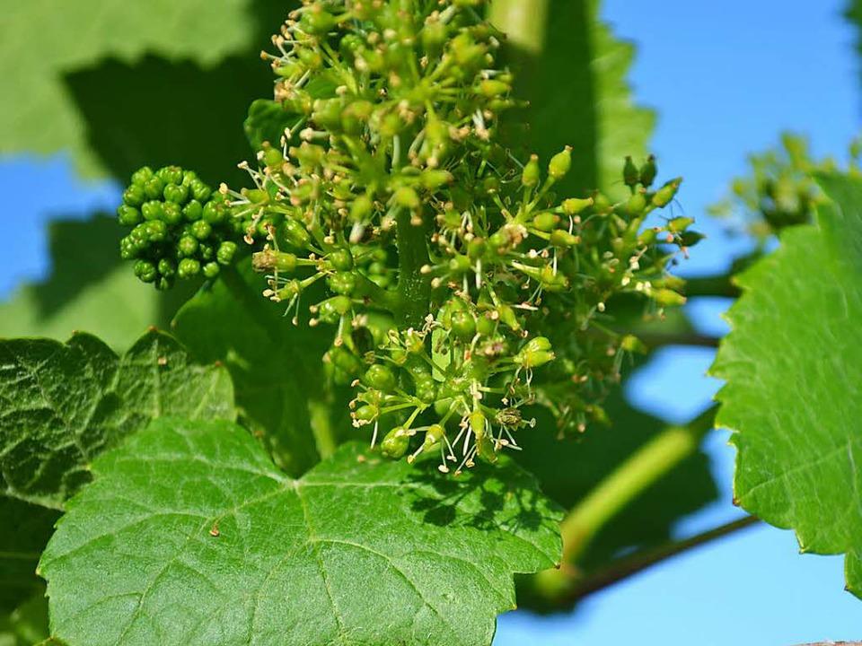 Rebblüten an einer Weinrebe.    Foto: Harald Rudolf