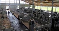 Wo die Kühe selbst zum Melken gehen