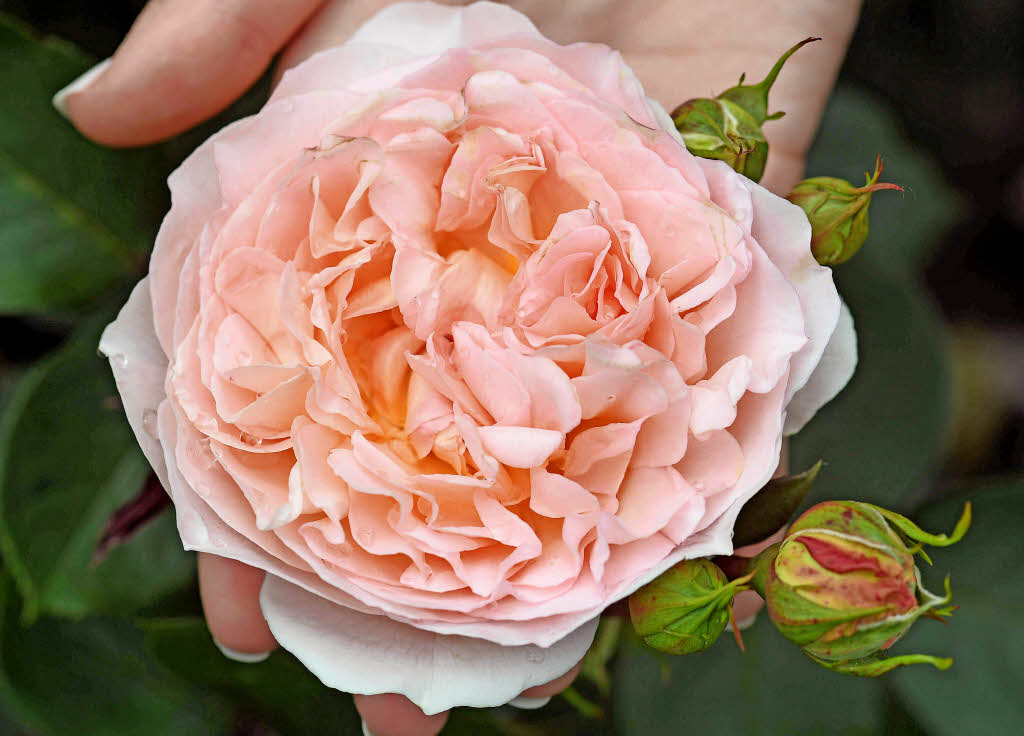 die goldene rose ist pink s dwest badische zeitung. Black Bedroom Furniture Sets. Home Design Ideas