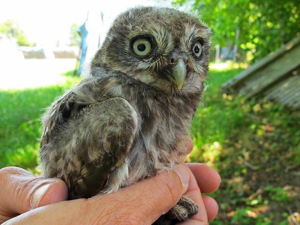 Handliches Tierchen: junger Steinkauz  | Foto: Jutta Schütz