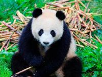 Pandas aus China werden heute in Berlin empfangen