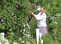 An die 250 Rosen blühen im Garten