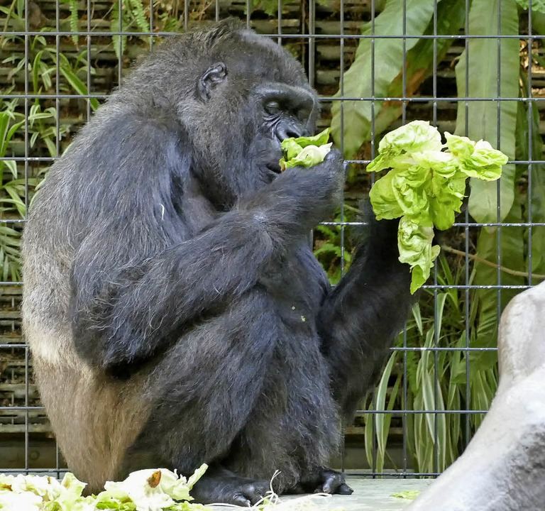 Gorilladame Goma futtert Salat.  | Foto: Sonja Zellmann