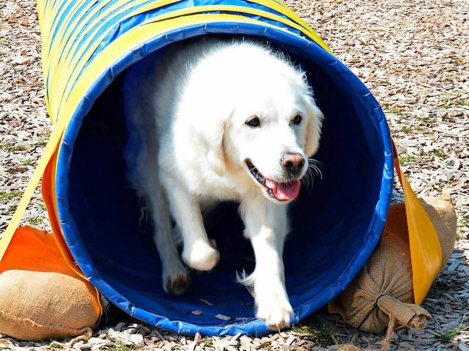 Besuchshund Cayleigh rennt durch den Tunnel um ein Spielzeug zu holen    Foto: Danielle Hirschberger