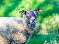 Vierbeinige Rasenmäher: Basler Stadtgärtnerei setzt Schafe ein