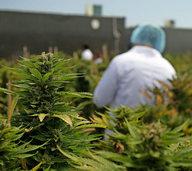 Uruguay ist das erste Land, das Anbau und Verkauf von Marihuana verstaatlicht