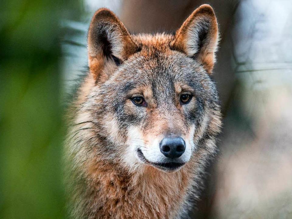 Der tote Wolf aus dem Schluchsee stammt aus Niedersachsen.  | Foto: dpa