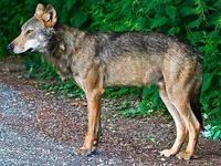 Die Spur des Schluchseewolfs führt in den Norden
