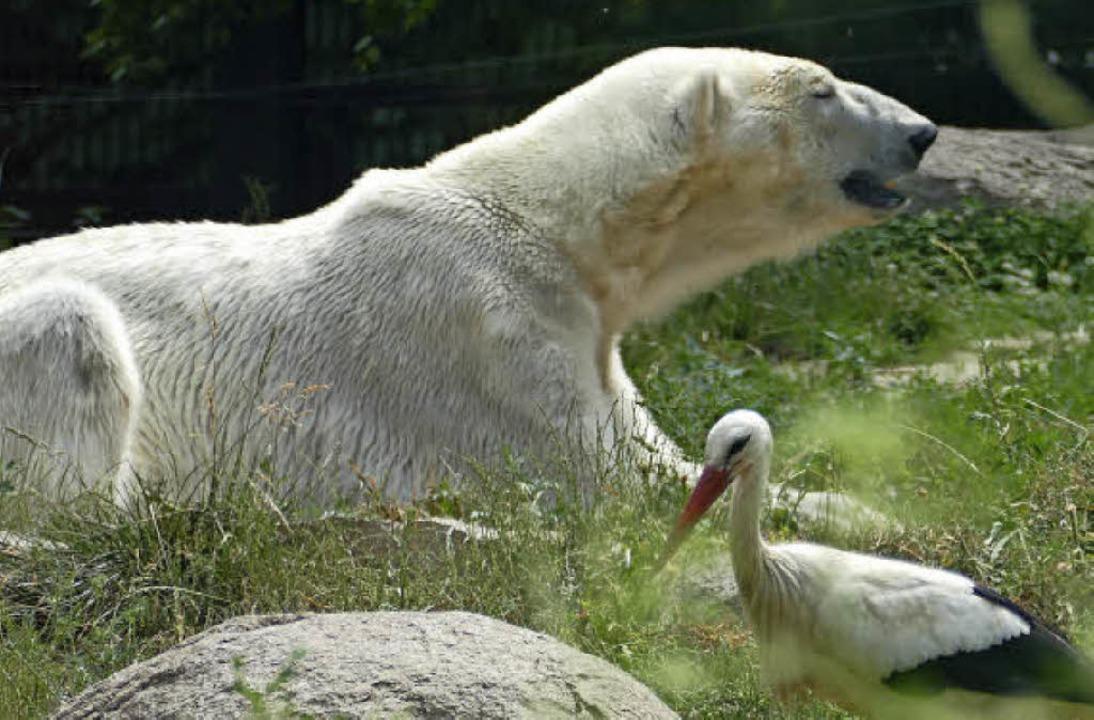 Fauler Eisbär auf der Wiese, staunende...sonders beeindruckend, wenn<ppp></ppp>    Foto: Silke Kohlmann