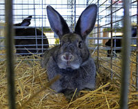 Kaninchenzucht ist Leidenschaft