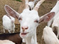 Sind Ziegen das bessere Milchvieh?