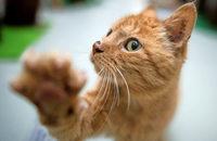 Katzenausstellung am Samstag, 12., und Sonntag, 13. August, in der Mehrzweckhalle Tiergarten in Zurzach/Schweiz.