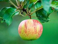 Wegen Frostschäden: Äpfel werden bis zu 18 Prozent teurer