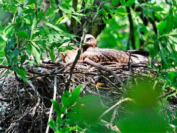 """Tiere: Schwarzmilan im Horst in der Nähe einer Wasserfläche.""""Eingefangen"""" mit der Kamera hat die Greifvogel-Familie  Stefan Senger"""